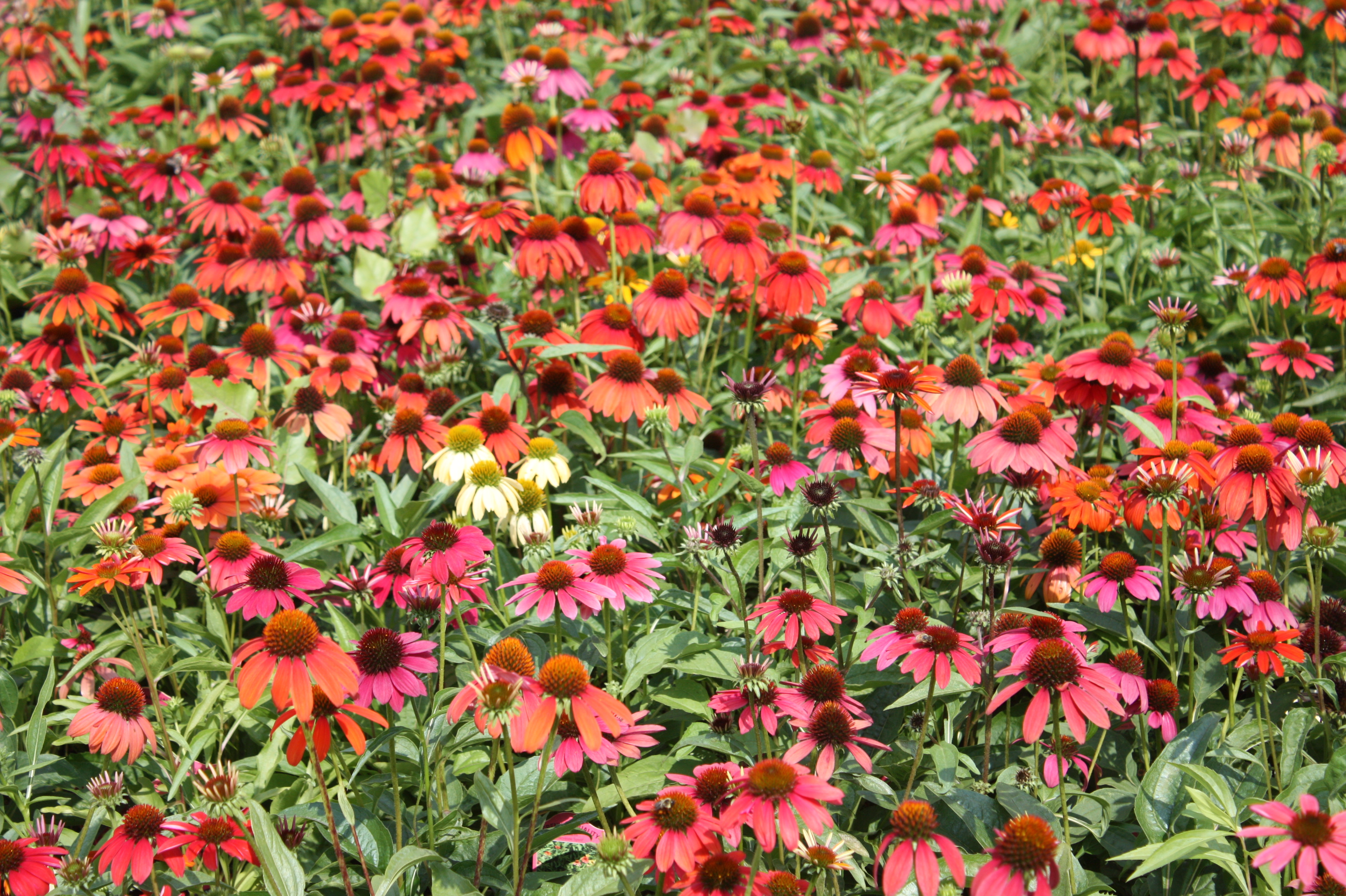 Summer Blooming Perennials To Plant Now
