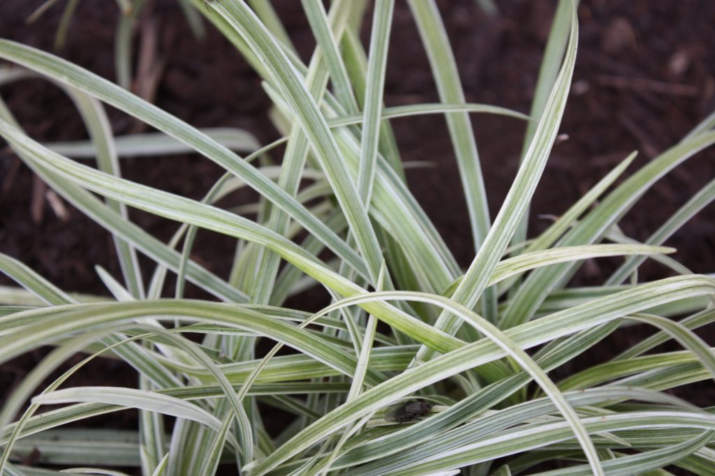 perennial plants silver dragon